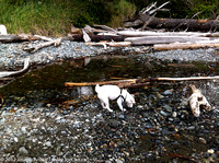 Tanner drinking from the creek flowing onto China Beach