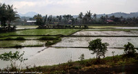 Flooded rice fields