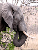 A huge bull elephant pushes over a tree and grazes on it
