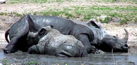 Baby White Rhinoceros suckling on its mother at a water hole