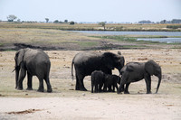 Elephants on the sandy delta