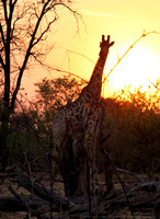 Giraffe feeding at sunset