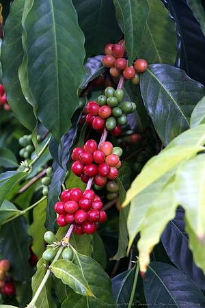 Coffee fruit
