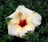 Giant yellow Hibiscus flower