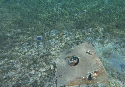 Sargent Major fish swimming around a mooring block