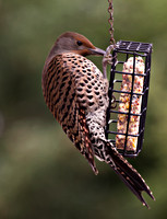 Female Red-shafted Northern Flicker at the suet feeder