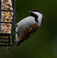 Chestnut-backed Chickadee at the suet feeder