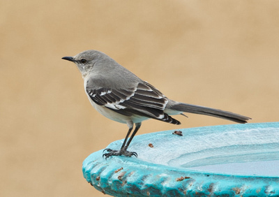 Northern Mockingbird at Dragoon Mountain Ranch