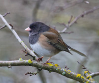 Dark-eyed Junco perched in the Hawthorne tree