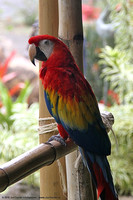 Resident Macaw in Crouching Lion Bar & Grill