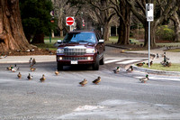 Truck waiting for Mallard ducks to cross the road