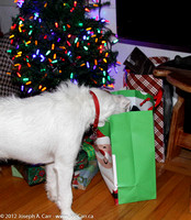 Rolly looking at the presents under the tree