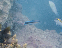 Coral and fish, Remora