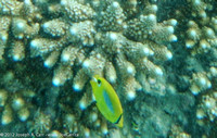 Eclipse Butterflyfish and coral