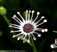 Delicate white-petaled flower