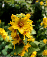 Yellow flowers growing in the rockery