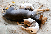 Wat dog and her pups