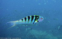 Young Parrot fish