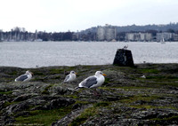 Seagulls huddled against the west wind