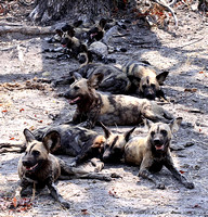 Wild Dogs lying in the shade after eating a kill
