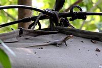 Gecko on my tent