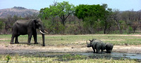 Face-off between big bull Elephant and mother White Rhinoceros