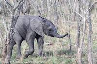 A young elephant in the trees