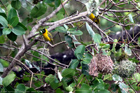 Southern Masked-Weaver birds building nests