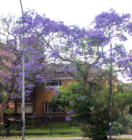 Jacaranda tree in bloom as we leave Pretoria