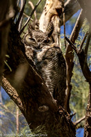 Male Great Horned Owl perched in a tree