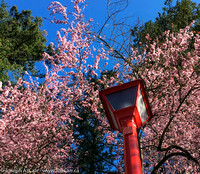 Red lamp post, pink blooms on ornamental tree and blue sky
