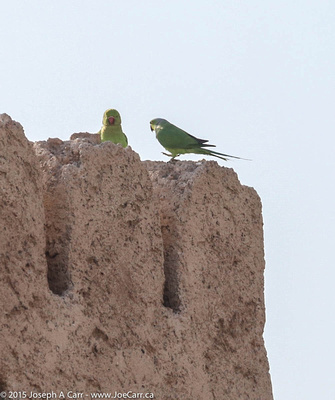 A pair of parrots on the castle wall