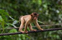 Young Pigtailed Macaque monkey walking a rope to the Orangutan  feeding station