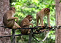 A trio of Pigtailed Macaque monkeys waiting at the feeding station