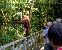 Mimi, the Orangutan walking along the walkway railing in front of a group of people