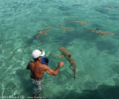 Feeding the Black-tipped sharks and Sting rays at Motu Toopua, Bora Bora
