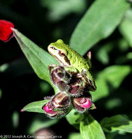 Tree frog on a plant leaf
