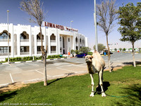 Camel in front of the hotel