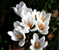 Crocus  in the Garry Oak Meadow