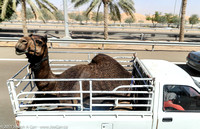 Camel in the back of a pickup truck