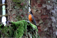 Robin on a stump