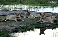Lions resting beside the water after sunset