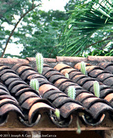 Cactus growing out of tiled roof