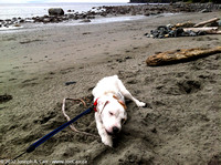 Rolly chewing a stick on China Beach