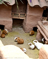 Guinea pigs being raised for food