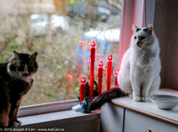 Coda and Mello on the window sill with Christmas candles