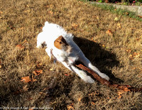 Rolly chewing a stick on the neighbour's lawn