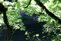 Cowichan River S pools through the Broadleaf Maple trees