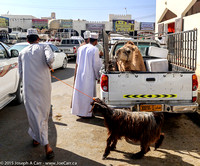 A camel in the back of a pickup truck & a goat being led away