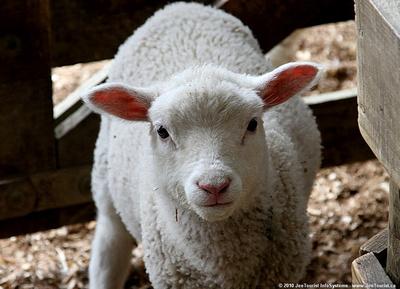JoeTourist: Warkworth &emdash; Lamb